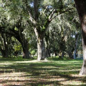 The Farm Is Home To Many Beautiful Live Oak Trees.