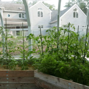 Tomato Plants Growing Happily In A New Greenhouse.