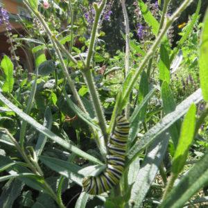 Monarch Caterpillars Enjoying The Asclepias.