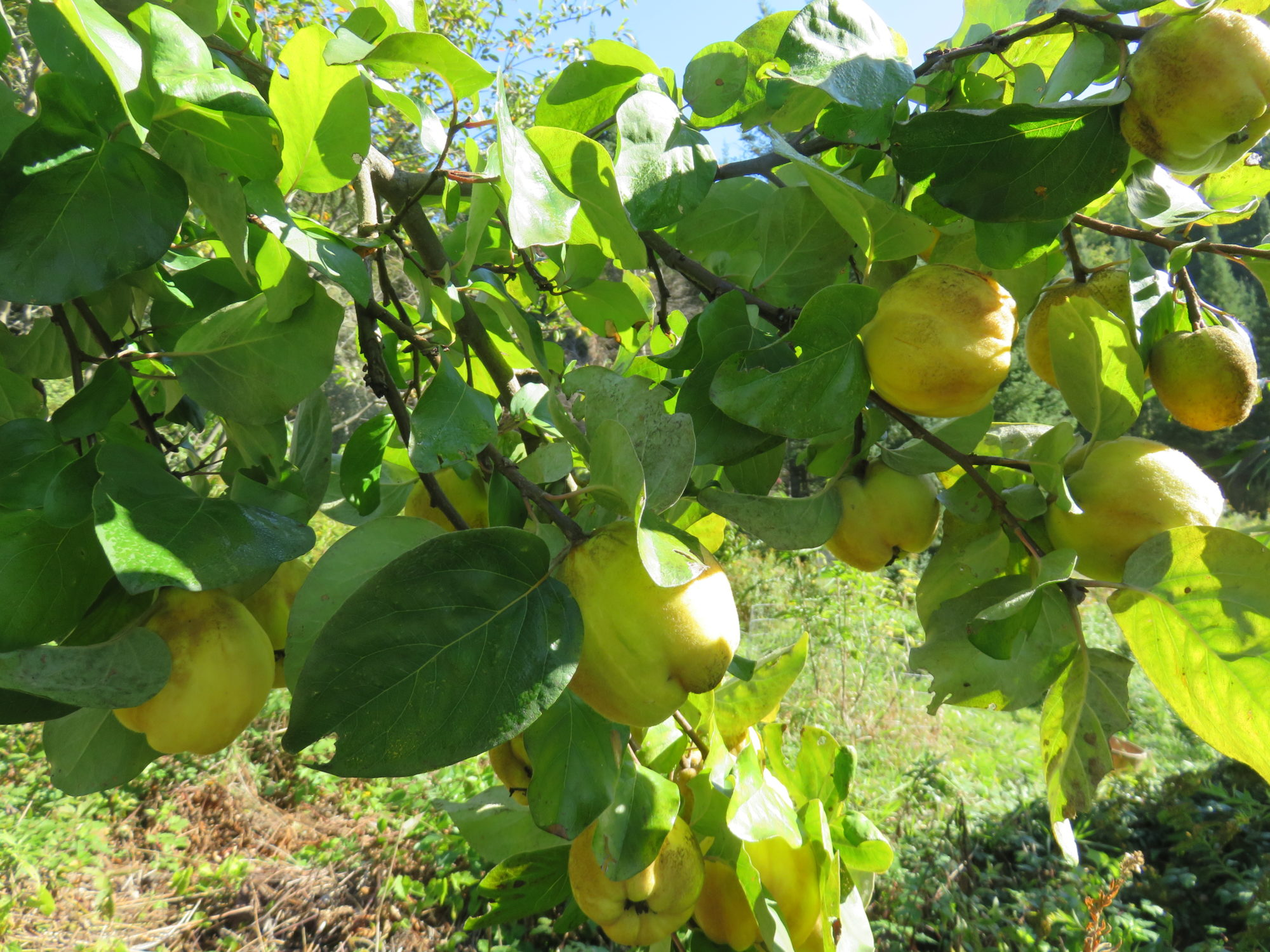 Laden With Quince