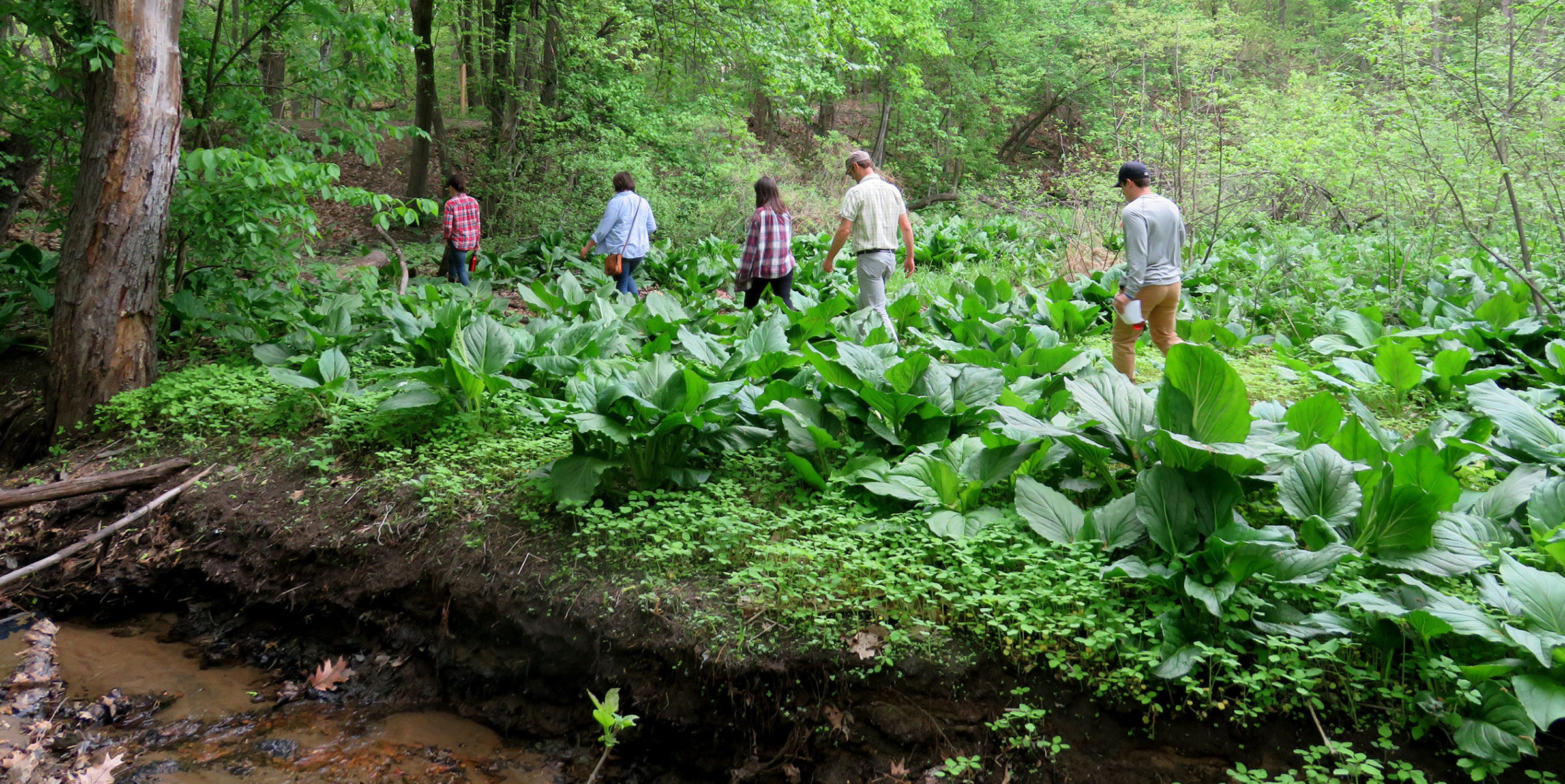 RDG Staff And Interns Walk Through A Field Of Skunk Cabbage During An Eco-cultural Restoration Intensive.