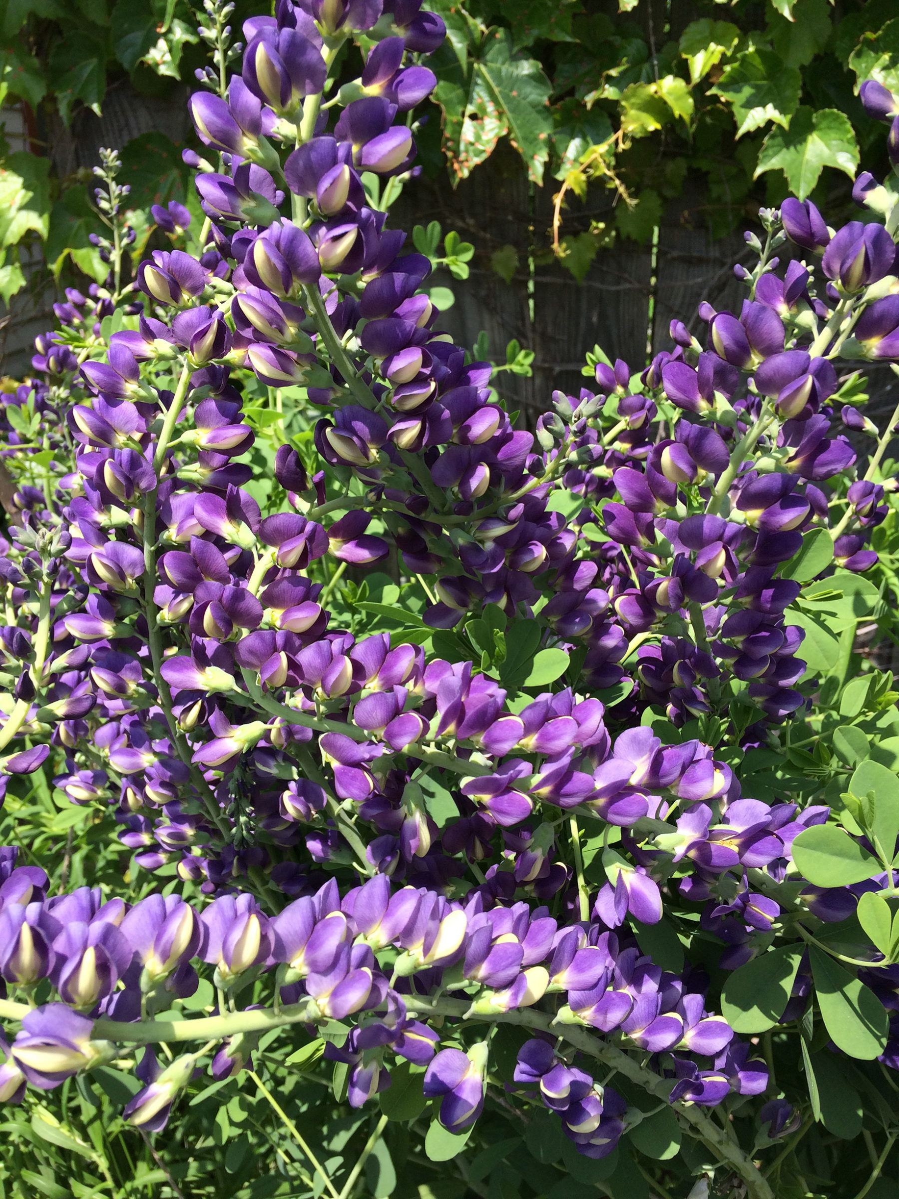 The tangled purple jewels of Blue False Indigo