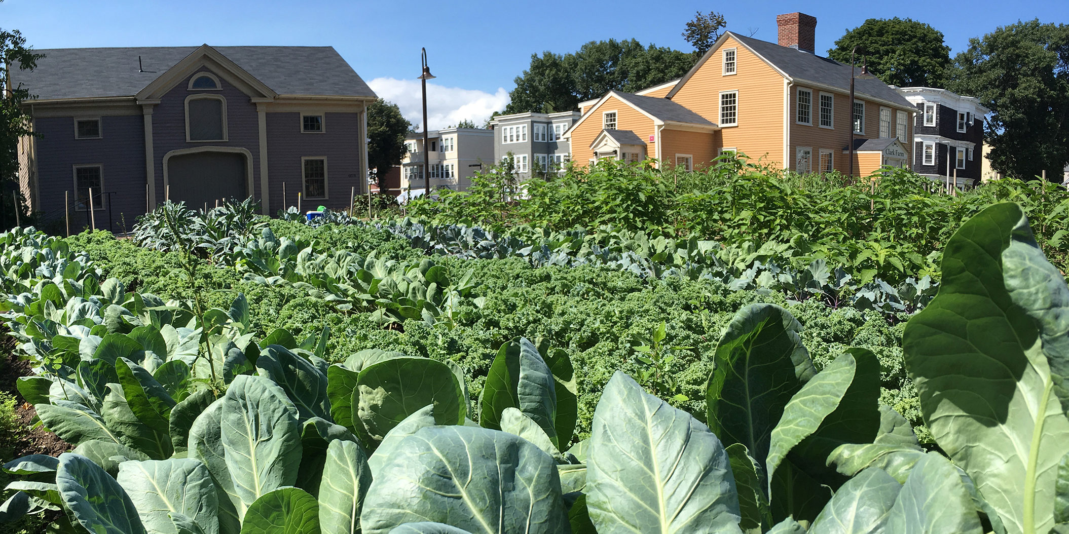 lush brassicas at fowler clark epstein urban farm