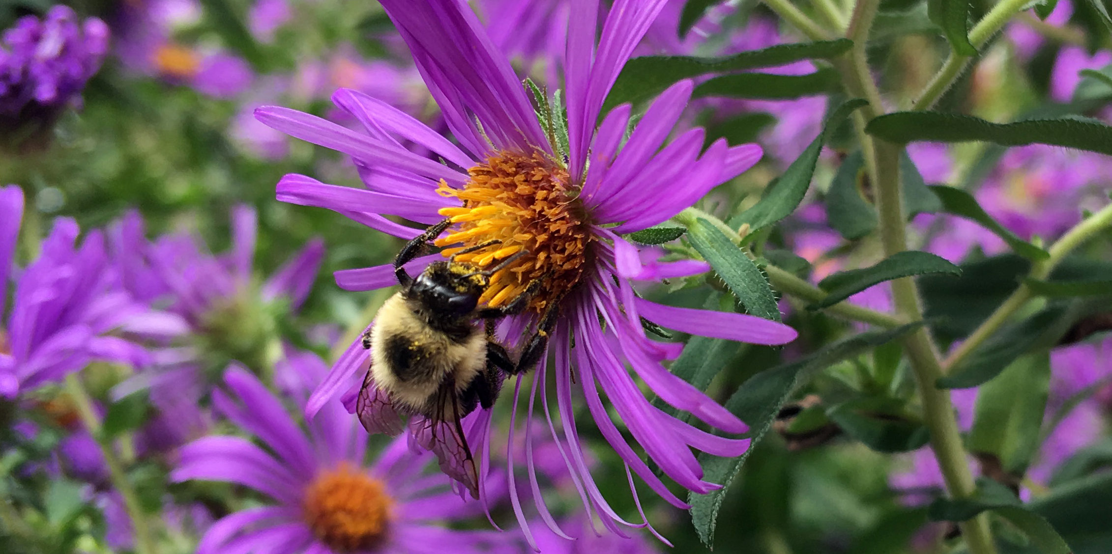 A Fatyellow Bee Collects Pollen From A Purple New England Aster