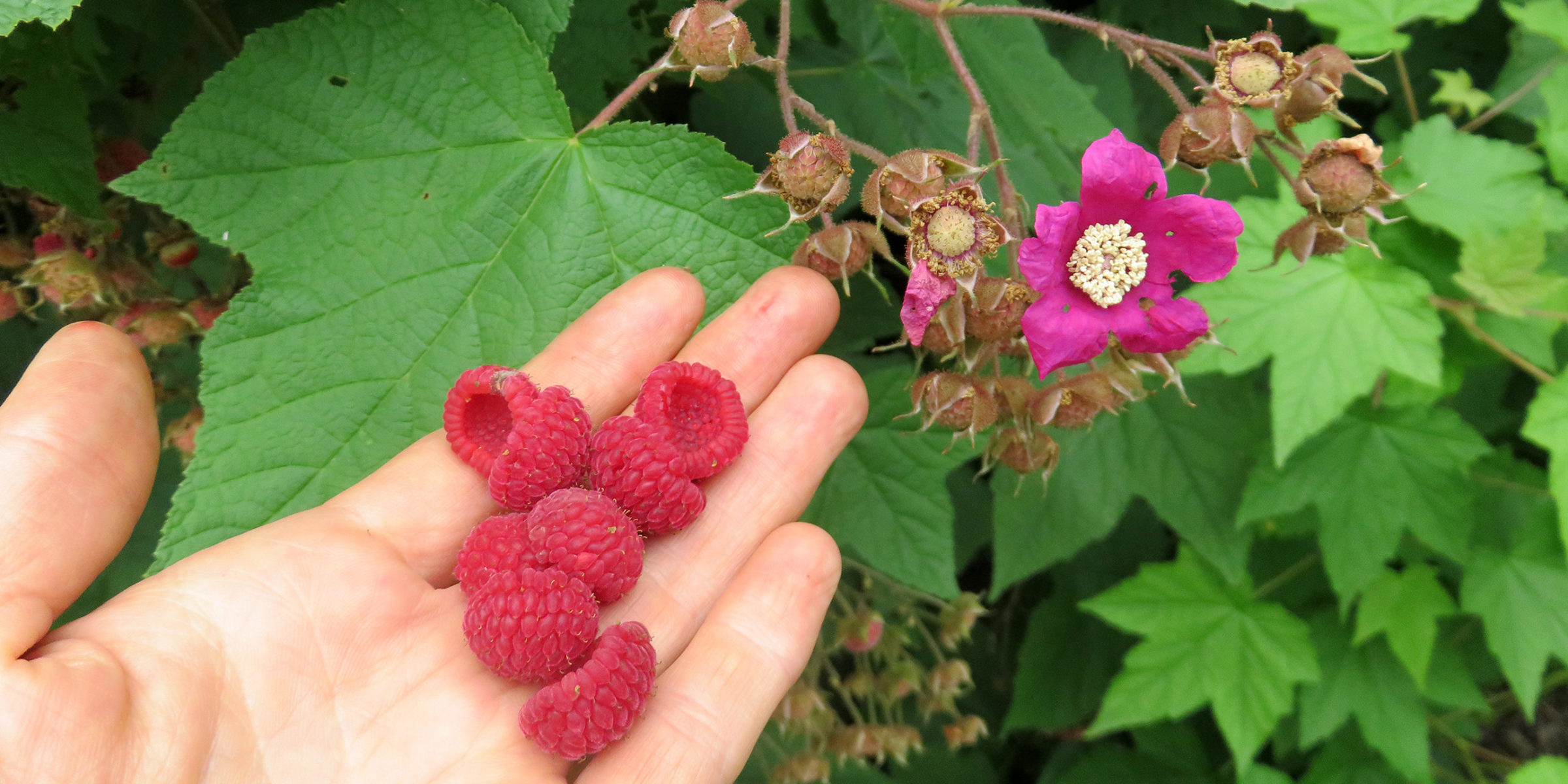 Picking A Handful Of Raspberries During A Site Visit To One Of Our Land Use Planning Clients.