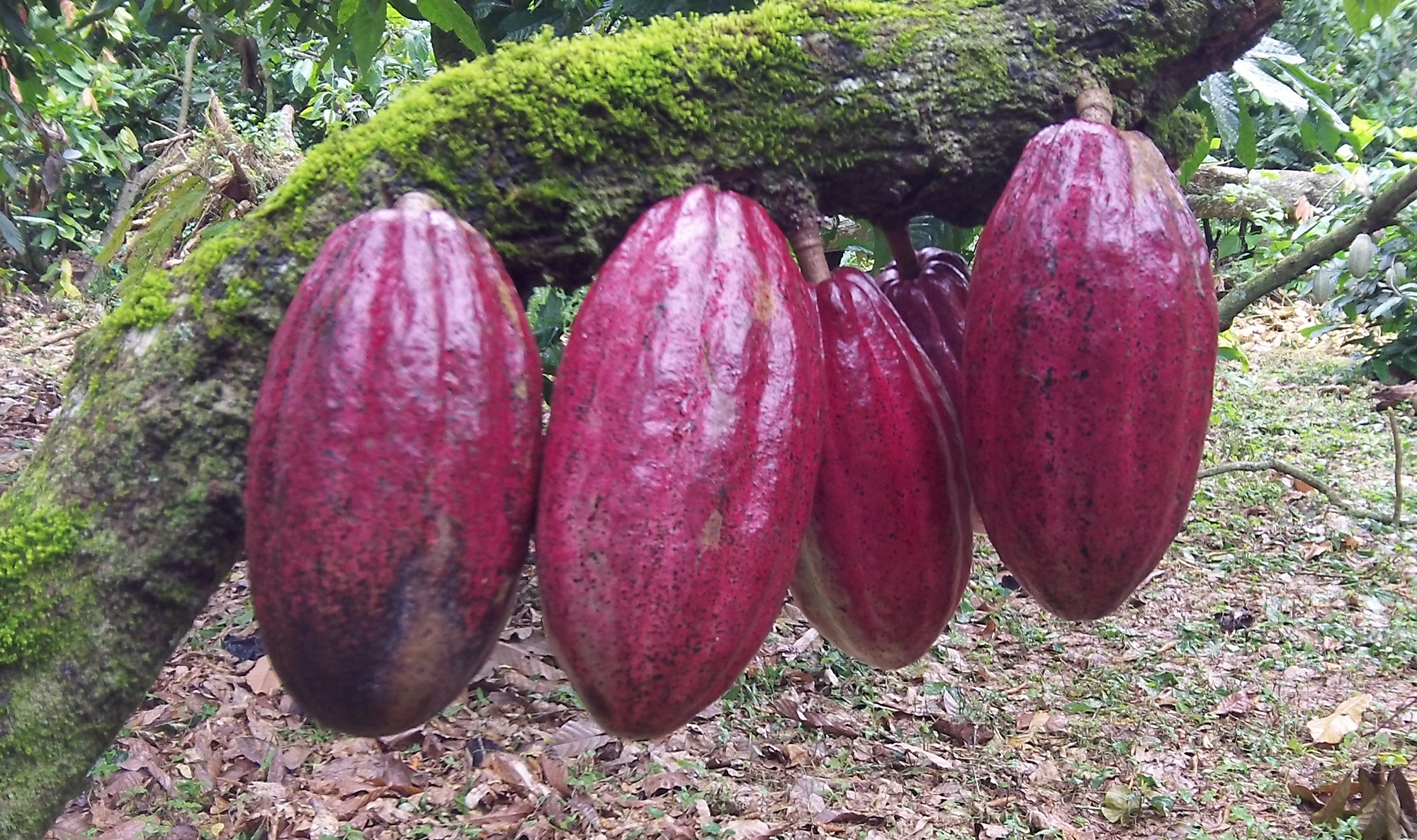 Cacao Agroforestry In The Dominican Republic
