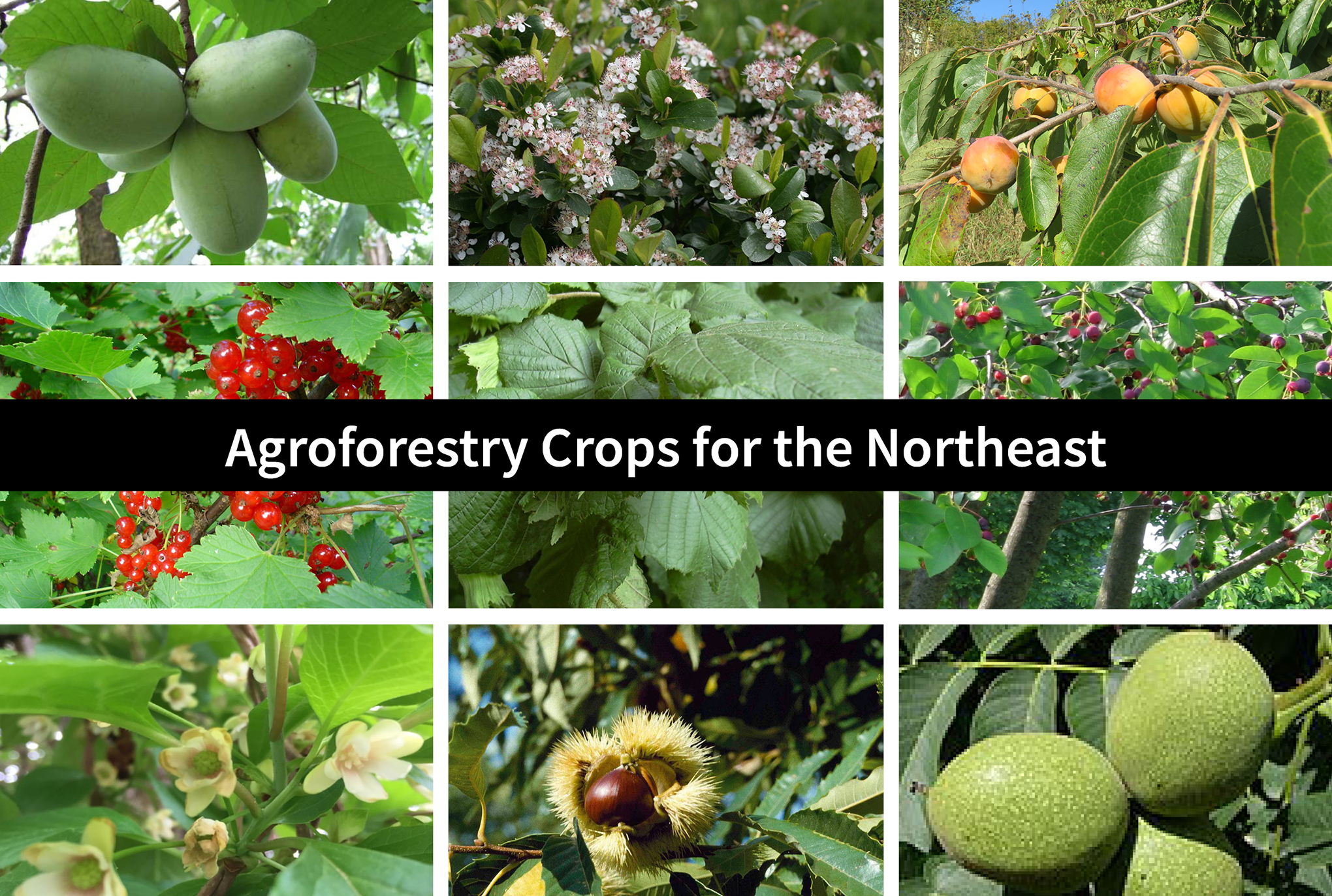 Agroforestry Crops For The Northeast